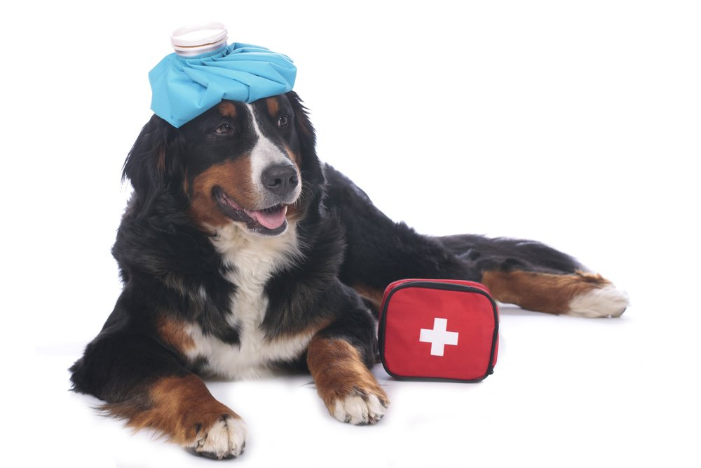 Treating Small Animal Injuries with Heat or Cold Therapy