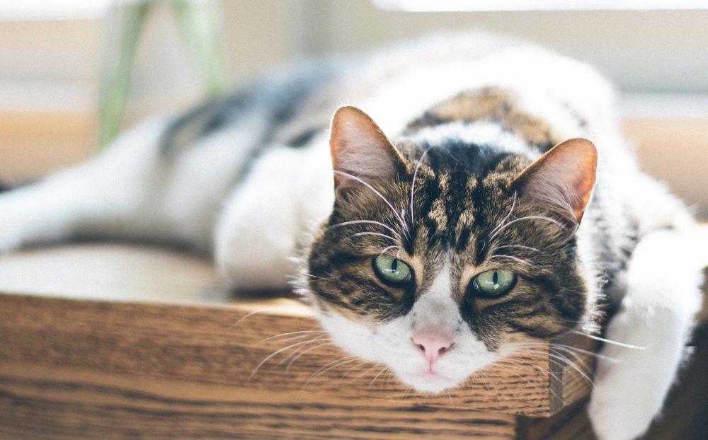 THE JOY OF ADOPTING A SENIOR CAT