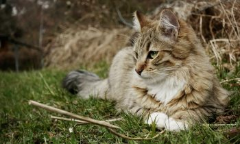 Feline Degenerative Joint Disease (Arthritis / Osteoarthritis) Resources