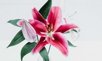 LILY POISONING IN CATS